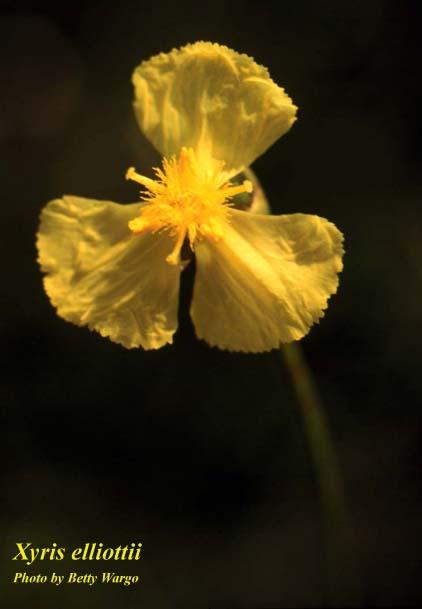 Elliot's Yelloweyed Grass