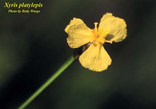 Tall Yelloweyed Grass