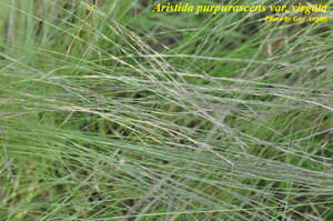Aristida purpurascens var. virgata
