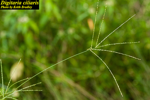 Digitaria ciliaris