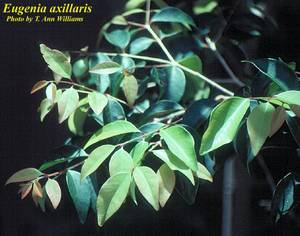 Eugenia axillaris