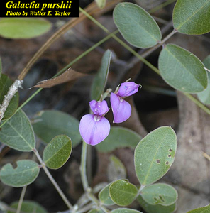 Galactia purshii