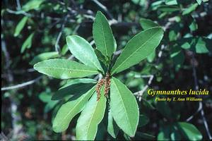 Gymnanthes lucida