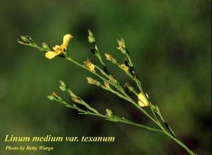 Linum medium var. texanum