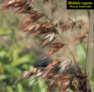 Melinis repens