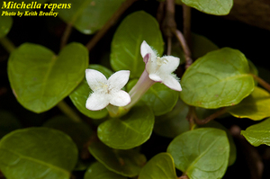 Mitchella repens