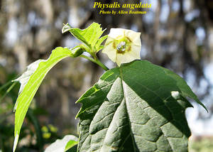 Physalis angulata