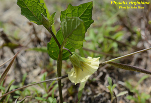 Physalis virginiana