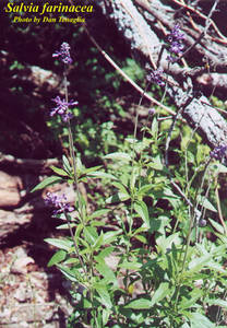 Salvia farinacea
