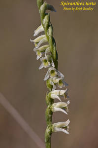 Spiranthes torta