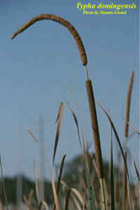 Typha domingensis